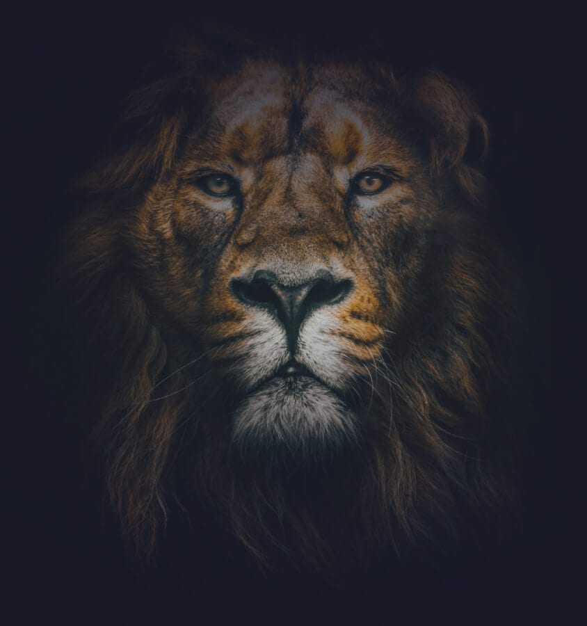 faded-lion-head